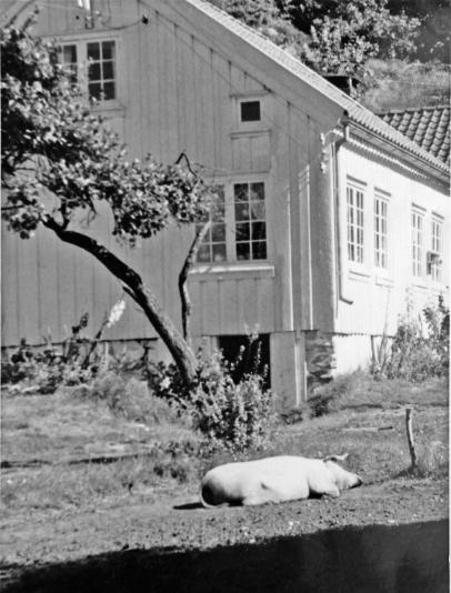 Det gode griseliv i Skjeviga
