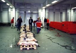Håbrandfangst i Hanstholm